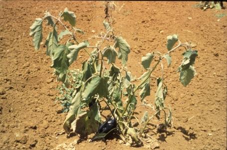 La résistance de l'aubergine à Ralstonia solanacearum