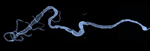Intestin de drosophile adulte