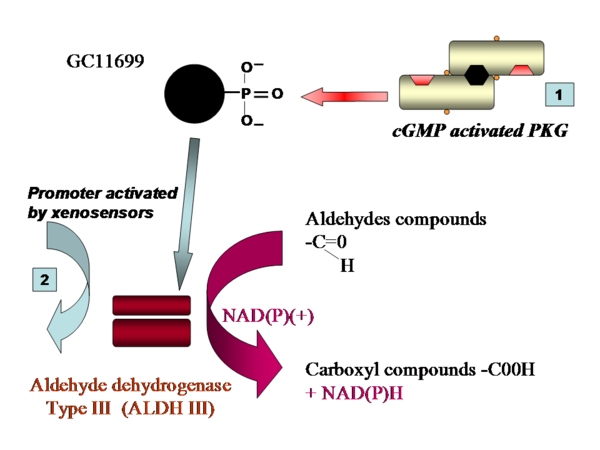 Proposed mechanisms for increased Aldh III activity by PKG phosphorylation via GC11699.
