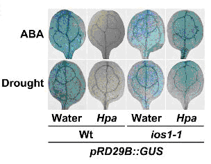 Hpa-infection represses ABA signaling, as monitored by reporter gene expression driven by the ABA-sensitive promoter RD29B. This repression is derepressed in the ios1-1 mutant showing that the Hpa-responsive ABA downregulation proceeds through IOS1