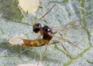 Binodoxys communis stinging a 2nd instar Aphis glycines (photo by David Hansen, University of Minnesota). Total length of parasitoid is approximately 2mm.