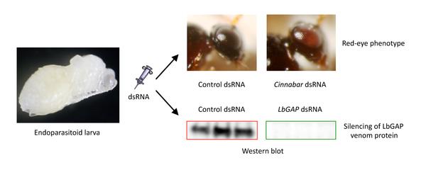 development of RNAi in a Drosophila endoparasitoid wasp