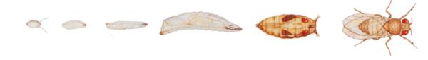 Développement Drosophila melanogaster