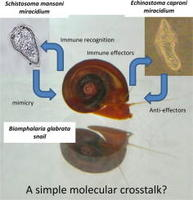 Advances in gastropod immunity from the study of the interaction between the snail Biomphalaria glabrata and its parasites: A review of research progress over the last decade