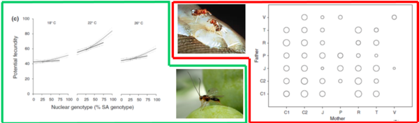 Composite Figure illustrating the complementarity of the two cited studies Middle: Top = the egg parasitoid Trichogramma sp ; Bottom = the larval parasitoid Psyttalia lounsburyi Left: Evidences for genotype-by-environment and cyto-nuclear interactions for a female fitness traits Right: Outcome of a crossing experiment (7 strains crossed in all ways) on the realized fecundity (proportional to the bubble's area)