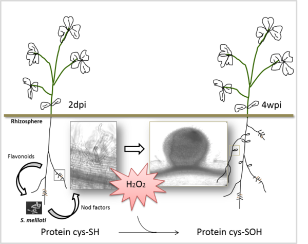 Hydrogen peroxide is involved in the development of the legume–Rhizobium symbiosis.  Sulfenylated proteins were identified in Medicago truncatula inoculated roots and functioning nodules.  They are involved in plant redox control, defense and carbon and nitrogen metabolism.  Sulfenylation may also play a role in regulating microsymbiont metabolism.