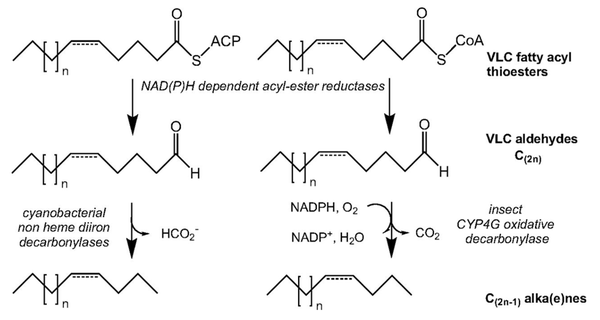 Hydrocarbon biosynthesis from very long-chain fatty acyl thioesters in cyanobacteria and in insects.