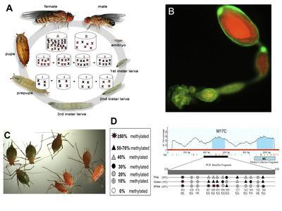Etude des variations phénotypique et épigénétique du cycle de vie chez la drosophile