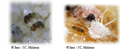 Trichogramma brassicae pondant dans des oeufs du papilon Ephestia kuehniella (photo de gauche) et Pseudaphycus flavidulus, parasitoïde de la Cochenille farineuse (photo de droite).