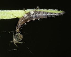 Lacewing larvae attacking an aphid