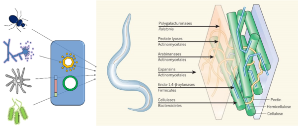 Multiple genes in root-knot nematodes have been acquired via horizontal gene transfers, mainly from bacteria an fungi, and now play important roles in plant-parasitism. For instance, genes encoding plant cell wall-degrading enzymes from at least 6 different gene families have been acquired (adapted from Whiteman & Gloss, 2010).