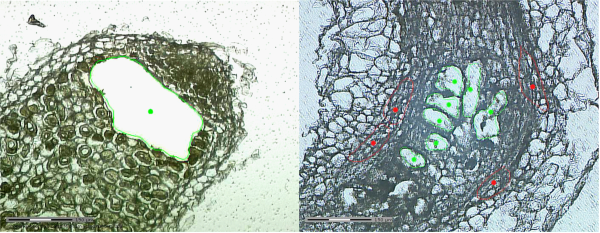 Using laser-assisted microdissection, we specifically isolated Medicago nodule zone II cells (left, green dot), and nematode-induced gall giant feeding (right, green dots) and surrounding cells (right, red dots) for subsequent transcriptome analysis.