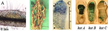 Rhizobium-legume symbiotic interaction