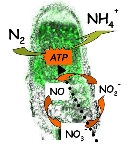 Schematic representation of the involvement of the nitrate-NO  respiration in energy regeneration in N2-fixing nodules.