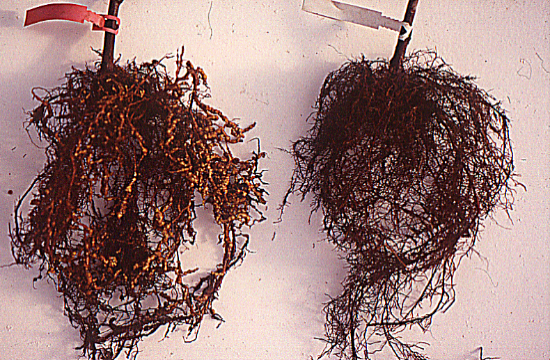 Root-knot nematode (Meloidogyne spp.) symptoms on susceptible plant (left) and resistant plant with the Ma gene (right)