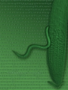 Succès parasitaire des nématodes à galles