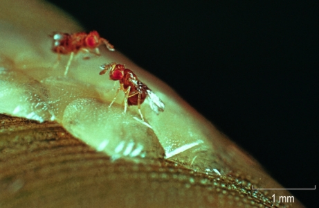 Trichogramma brassicae BEZDENKO parasitant une ooplaque d'Ostrinia nubilalis (pyrale du maïs)..