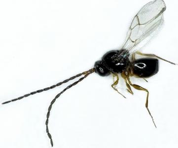 Ganaspis sp mâle