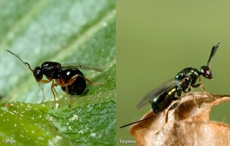 Cynips du châtaignier et son prédateur, Torymus sinensis.