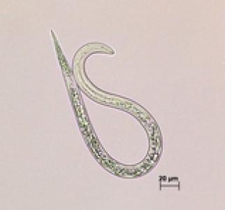 Larve infestante du nématode à galles à reproduction asexuée Meloidogyne incognita.