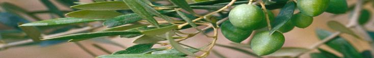 Site web Mouche de l'olive