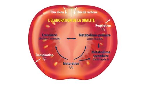 modélisation fruits - tomate ouverte